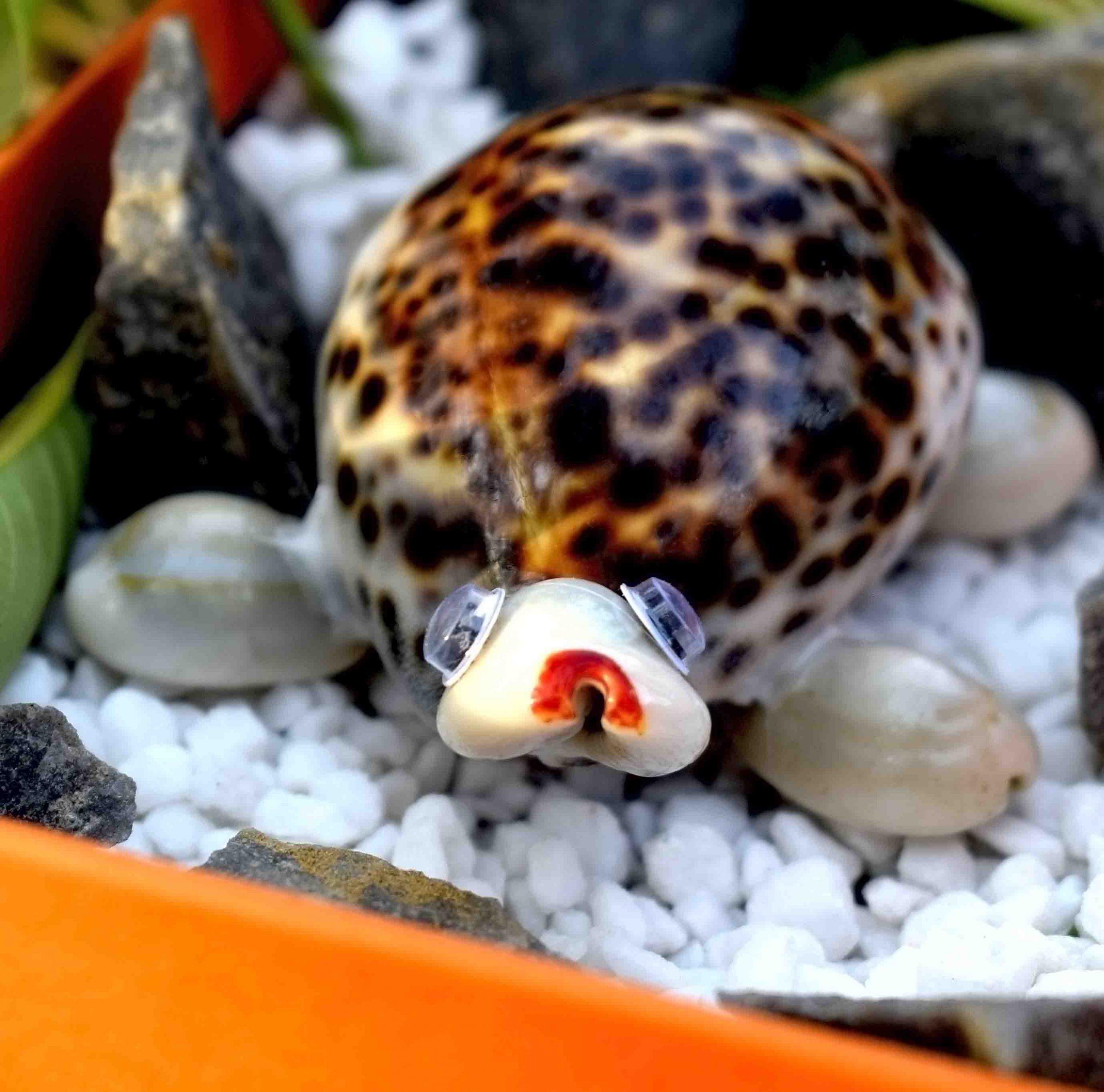 Buy Feng Shui Vastu Kachhua (Feng Shui Turtle) Online – Kodi Kachua